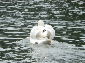 Will grow into a beautiful swan