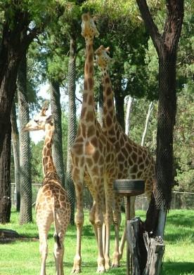 Dubbo Zoo 25Nov2010 (11)