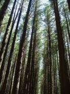 Sugar Pine Forest Walk 22Nov2010 (10)