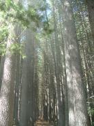 Sugar Pine Forest Walk 22Nov2010 (13)