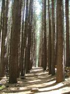 Sugar Pine Forest Walk 22Nov2010 (8)