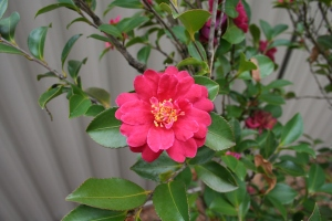 Camellia in the Japanese Gardens
