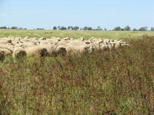 Merino_sheep_grazing_source wikimedia commons