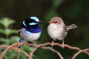 Male and Female Fairy Wren, source Wikimedia Commons