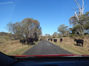 Cattle on the Long Paddock 17th March (1)
