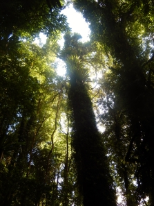 Reaching for the Skies Dorrigo Rainforest
