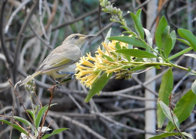 Honeyeater at Tamworth