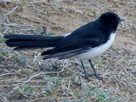 Willy Wagtail at Tamworth