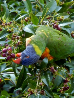 Parrot at Tamworth