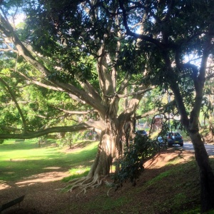 Tree in watt park lavender bay