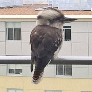 Kookaburra Contemplating Life from my balcony