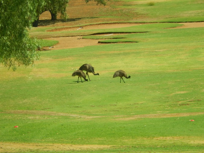 Emus on the Golf Course at Broken Hill
