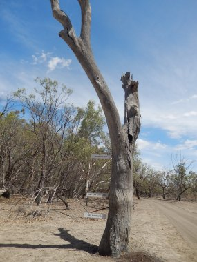 Menindee Lakes and Kinchega Park 2016-03-09 Flood Markers on Tree (3)