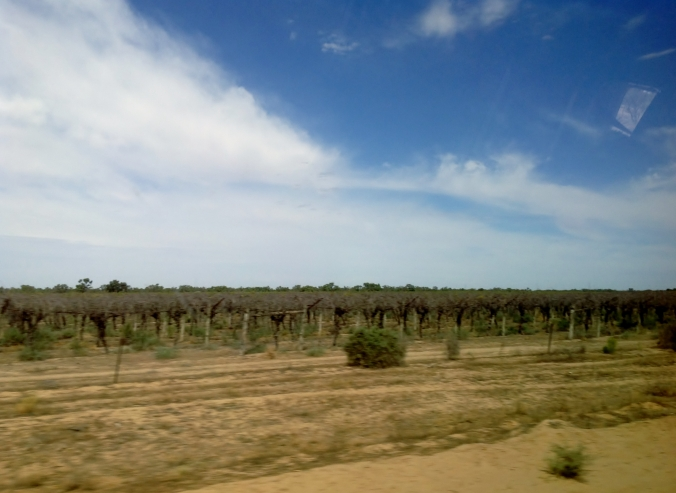 Grape Vines at Menindee NSW March 2016