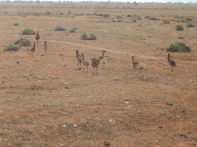 Emus on the road to Silverton near Broken Hill