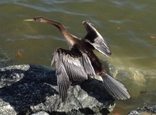 Cormorant at Elizabeth Quay, Perth, WA, May 2016