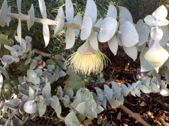 Eucalyptus Macrocarpa, Kings Park Botanic Gardens, May 2016