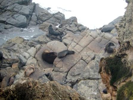 Fur Seals at Admirals Arch Kangaroo Island 2016-06-07