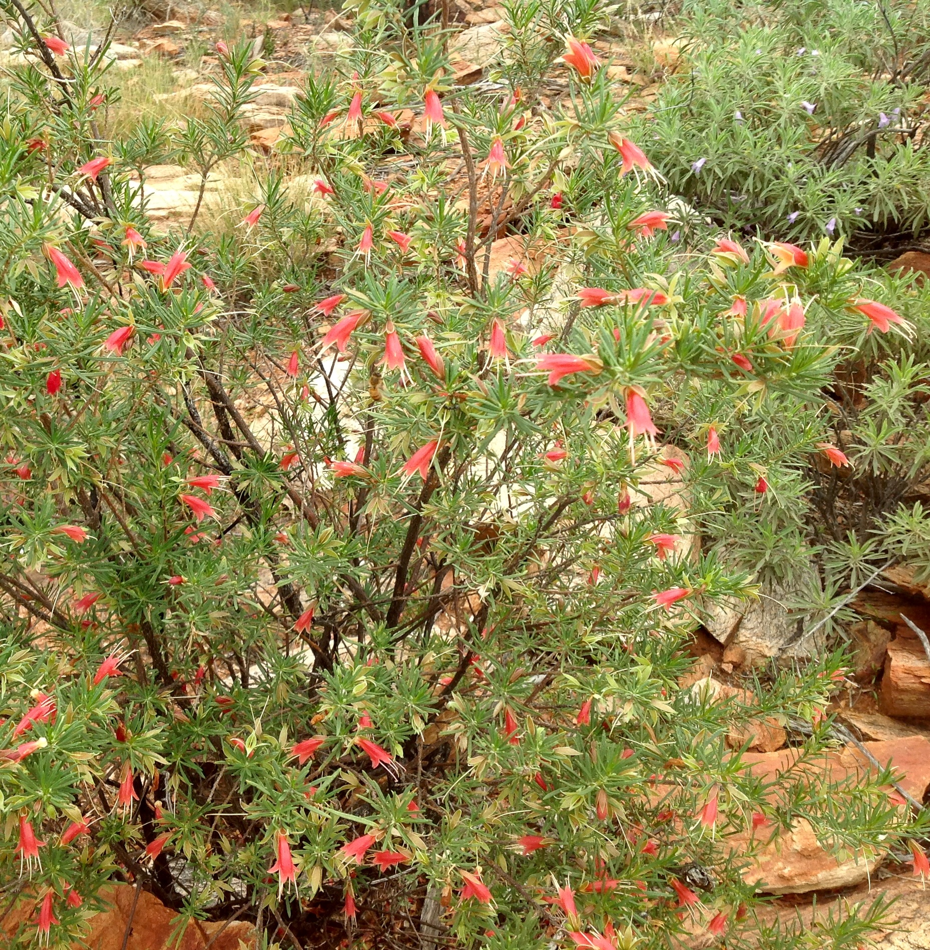 Riding the ghan from katherine to alice springs and beyond northern flowers seen on a walk near simpsons gap alice springs nt june 2016 mightylinksfo