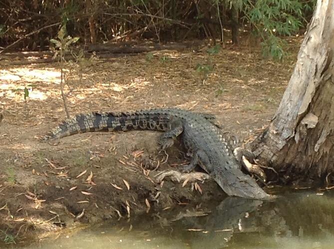 Crocodile taking to the water at Yellow Water Billabong Cruise Kakadu 2016-05-30 (3)