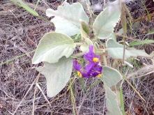 Flowers seen on a walk near Simpsons Gap, Alice Springs, NT, June 2016