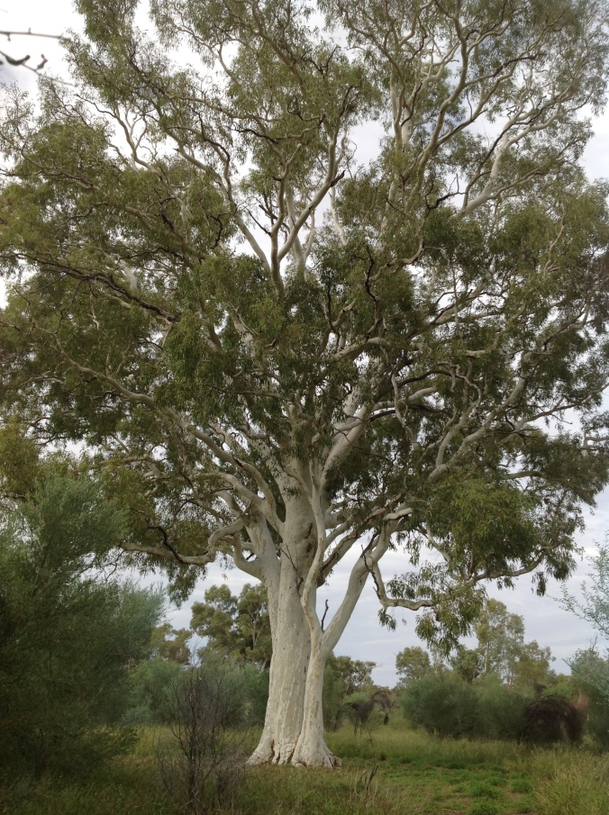 Ghost Gum near Alice Springs NT, June 2016