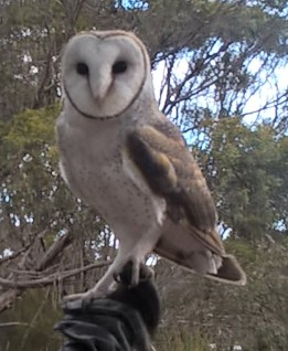 Raptor Domain Birds of Prey Kangaroo Island 6 June 2016 (11)