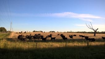 cattle-in-paddock-opposite-vine-hotel-wangaratta