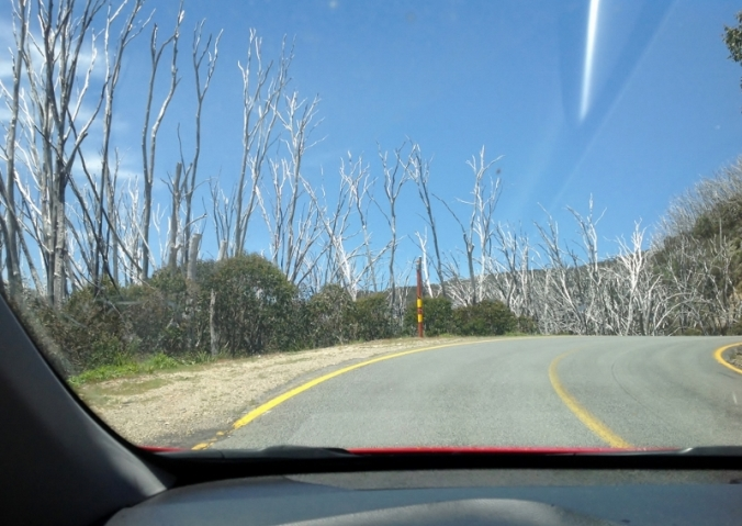 burnt-out-snowgums-on-the-mt-beauty-to-omeo-road-2016-12-15-3-1024x726-800x567