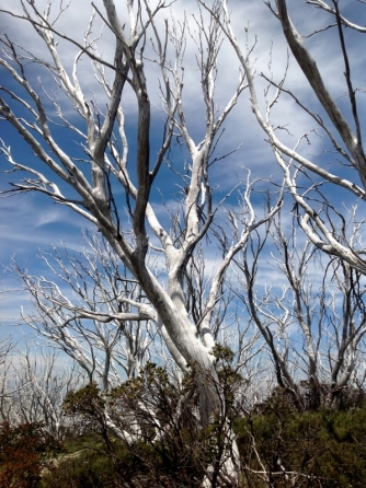 burnt-out-snowgums-on-the-mt-beauty-to-omeo-road-2016-12-15-9-765x1024-598x800