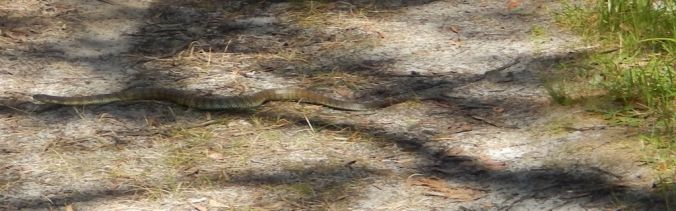 snake-in-the-grass-baldrys-crossing-circuit-walk-mornington-peninsula-national-park-2016-12-12-14-1024x321