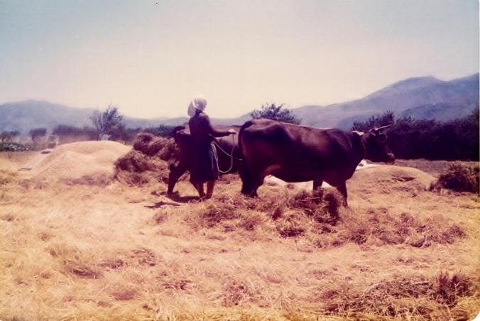 Woman threshing wheat 2 Crete 1979