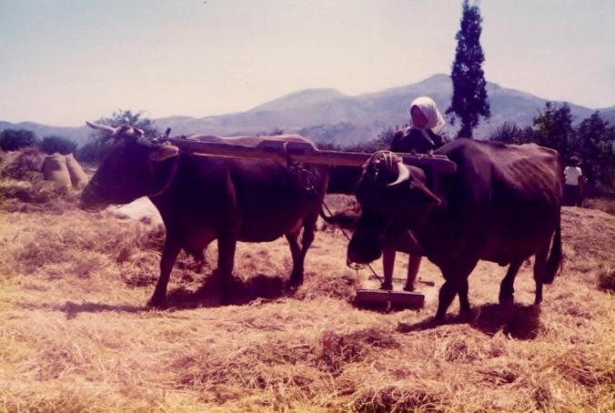 Woman threshing wheat Crete 1979