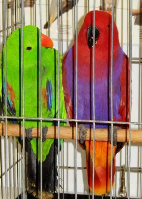 RAS Pet Birds (4) (458x640)
