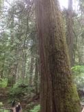 Giant Cedars Boardwalk (2)