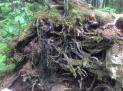 Giant Cedars Boardwalk (3)