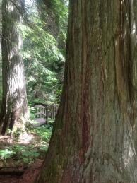Giant Cedars Boardwalk (5)