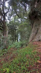 Rough Barked Eucalypts