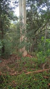 Eucalyptus at Dangar Falls Base