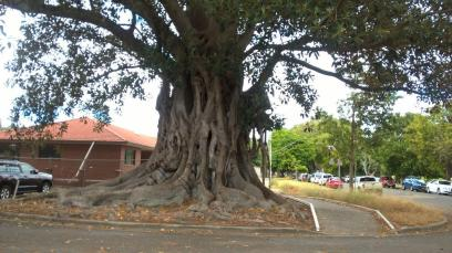 Moreton Bay Fig Grafton 5 March 2019 (1)