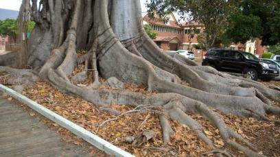 Moreton Bay Fig Grafton 5 March 2019 (2)