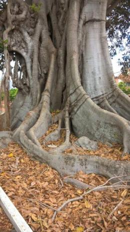 Moreton Bay Fig Grafton 5 March 2019 (3)