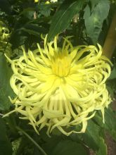 Dahlia at Ballarat March 2020 (7) rs