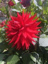 Dahlia at Ballarat March 2020 (8) rs