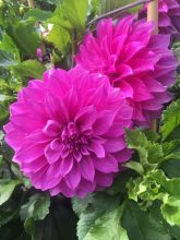 Dahlia at Ballarat March 2020 (9) rs