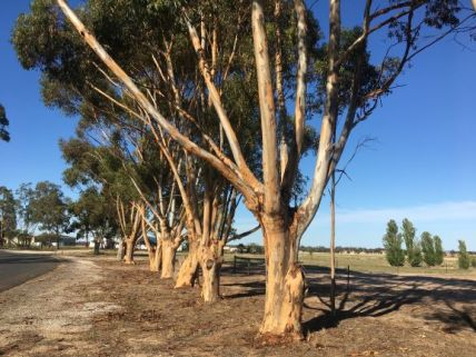 Gum Trees at Golf course Nhill (12)rs