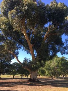 Gum Trees at Golf course Nhill (9)rs