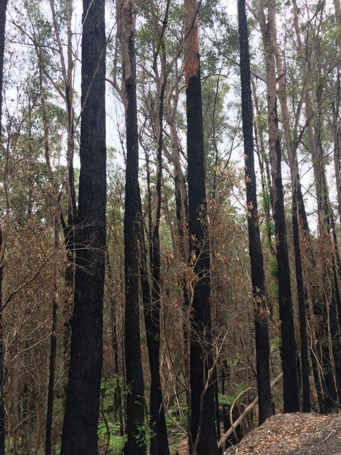 Burnt trunks