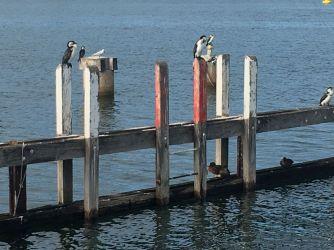 Lakes Entrance Marina Views Cormorants