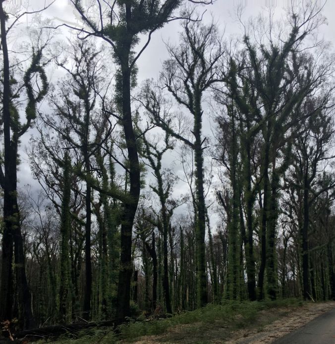regrowth trees